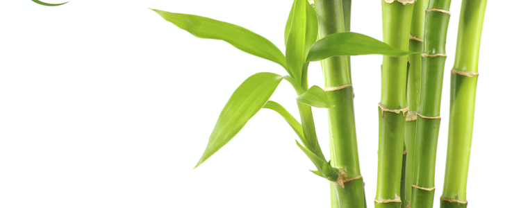 Bamboo – on of the 10 Lucky symbols